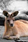 Relaxing Kangaroo Royalty Free Stock Photo
