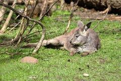 Relaxing Kangaroo Royalty Free Stock Photography