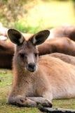 Relaxing Kangaroo Stock Image