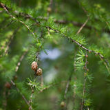 Relaxing larch greenery: closeup of European larch Stock Photos
