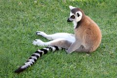 Relaxing Lemur Royalty Free Stock Images