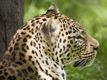 Relaxing Leopard. A leopard looks out across the terrain as it rests in the sun Stock Images