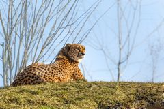 Relaxing leopard on a green grass Royalty Free Stock Photos