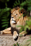 Relaxing Lion Royalty Free Stock Photography