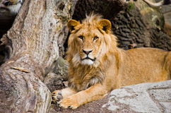 Relaxing lion. Royalty Free Stock Images