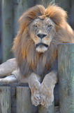 Relaxing Lion. Photo of a Lion relaxing at a zoo Stock Photos