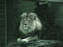 Relaxing lion. Beautiful shot of a lion resting Royalty Free Stock Image