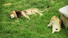 Relaxing Lion Couple on grass stock video footage