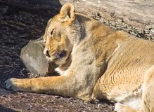 Relaxing lioness. Sleeping lioness (Panthera leo) in the Moscow zoo Stock Images