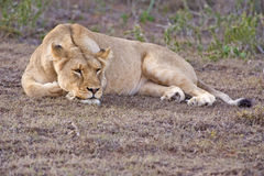 Relaxing Lioness Stock Photos