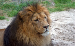 Relaxing male Lion Stock Photography