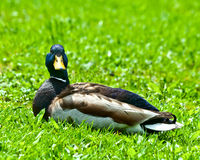 Relaxing Mallard Male. Adult male mallard duck relaxing in the park grass Royalty Free Stock Photo