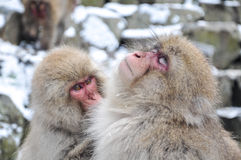 Relaxing Monkey. In a natural onsen (hot spring), located in Snow Monkey, Nagono Japan Stock Photos