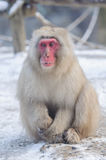 Relaxing Monkey - Stock Image. Relaxing Monkey in a natural onsen (hot spring), located in Snow Monkey, Nagono Japan Royalty Free Stock Images
