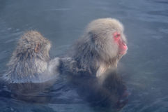 Relaxing Monkey - Stock Image. Relaxing Monkey in a natural onsen (hot spring), located in Snow Monkey, Nagono Japan Royalty Free Stock Photos