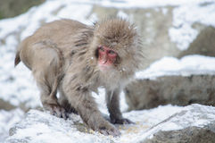 Relaxing Monkey - Stock Image. Relaxing Monkey in a natural onsen (hot spring), located in Snow Monkey, Nagono Japan Stock Images