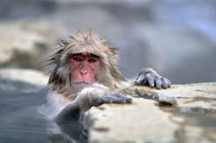 Relaxing Monkey - Stock Image. Relaxing Monkey in a natural onsen (hot spring), located in Snow Monkey, Nagono Japan Royalty Free Stock Image