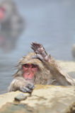 Relaxing Monkey - Stock Image Stock Images