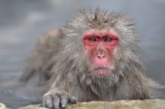 Relaxing Monkey - Stock Image. Relaxing Monkey in a natural onsen (hot spring), located in Snow Monkey, Nagono Japan Royalty Free Stock Photography
