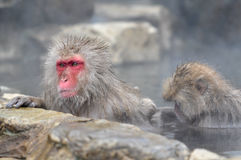 Relaxing Monkey - Stock Image. Relaxing Monkey in a natural onsen (hot spring), located in Snow Monkey, Nagono Japan Stock Photography