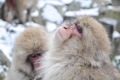 Relaxing Monkey - Stock Image. Relaxing Monkey in a natural onsen (hot spring), located in Snow Monkey, Nagono Japan Royalty Free Stock Photo