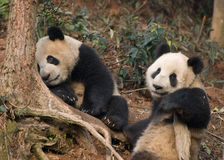 Relaxing Pandas Royalty Free Stock Image