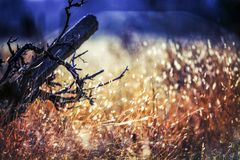 Relaxing and peaceful scene in the field with sense for balance and tranquility and harmony. At sunset in a hot sunny day with a old vine on focus royalty free stock photography