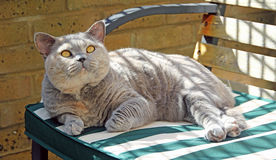 Relaxing pedigree cat on bench Royalty Free Stock Photos