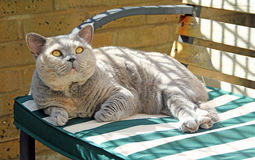 Relaxing pedigree cat on bench Royalty Free Stock Photography