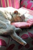 Relaxing pedigree cat Royalty Free Stock Photos