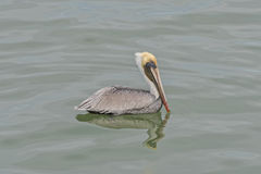 Relaxing Pelican Royalty Free Stock Images