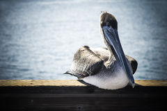 Relaxing pelican Royalty Free Stock Photos