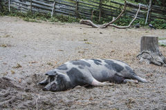 Relaxing pig. In skansen - historical park in Stockholm Stock Images