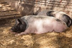 Relaxing Pigs Royalty Free Stock Photography