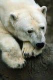 Relaxing Polar Bear Royalty Free Stock Photo
