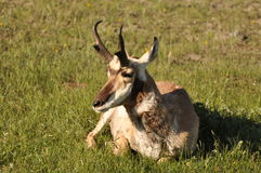 Relaxing Pronghorn Royalty Free Stock Image