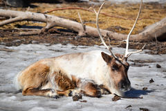 Relaxing Raindeer Royalty Free Stock Photography