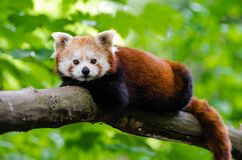 Relaxing Red Panda Royalty Free Stock Photography