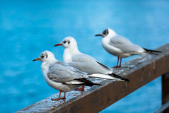 Relaxing Seagulls On Banister Royalty Free Stock Photo