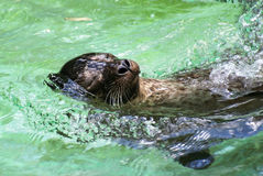 Relaxing seal Royalty Free Stock Images