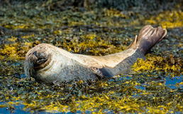 Relaxing seal lying in the seaweed Royalty Free Stock Photo