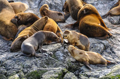 Relaxing seals, Beagle Channel, Ushuaia, Argentina. A big group of seals and sea lions, Beagle Channel, Ushuaia, Argentina royalty free stock images