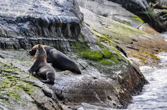 Relaxing seals, Beagle Channel, Ushuaia, Argentina. Relaxing seals on a rock, Beagle Channel, Ushuaia, Argentina royalty free stock photo