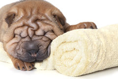Relaxing Sharpei puppy Stock Photography