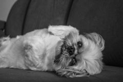 Relaxing Shih Tzu Dog royalty free stock photo