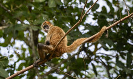 Relaxing spider monkey Stock Photo