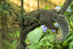 Relaxing Squirrel Royalty Free Stock Photo
