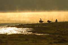 Relaxing sunrise with goose Stock Photos