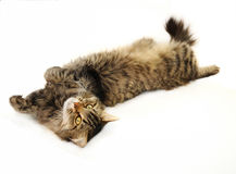 Relaxing tabby cat. Lying on her back and staring ahead on the white background Royalty Free Stock Image