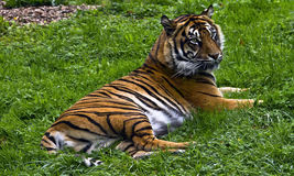 Relaxing Tiger Royalty Free Stock Photo